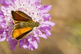 Lulworth Skipper (Thymelicus acteon) — Stock Photo