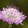 Mourning Bride (Scabiosa atropurpurea) — Stock Photo