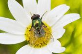 Green metallic bottle fly — Stock Photo