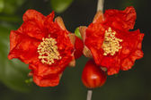 Beautiful red pomegranate flowers — Stock Photo