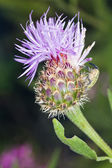 Cynara algarbiensis flower — Stock Photo
