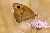 Small Heath (Coenonympha pamphilus) — Stock Photo