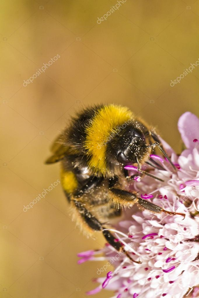 Close up view of the beautiful Buff-tailed Bumblebee (Bombus terrestris subsp. lusitanicus) insect.  Stock Photo #13504065