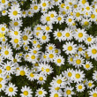 Stock Photo: Field of white daisy flowers