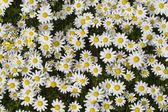Field of white daisy flowers — Stock Photo