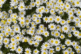 Field of white daisy flowers — Stock Photo