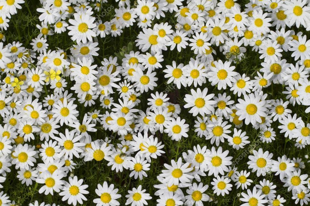Field Of White Daisy Flowers Stock Photo Membio 19221927