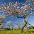 Almond tree blossoms — Stock Photo