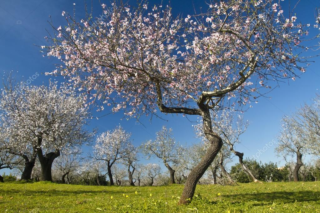 Almond Tree Blossoms Stock Photo 169 Membio 24905925