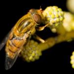Orange hoverfly — Stock Photo #24990055