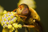 Orange hoverfly — Stock Photo