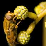 Orange hoverfly — Stock Photo #25083757