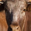 Brown cow — Stock Photo #25084939