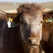 Brown cow — Stock Photo #25084953