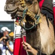 Medieval camel — Stock Photo