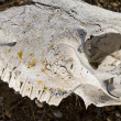 Sheep skull — Stock Photo
