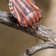 Graphosoma lineatum bug - Stock Photo