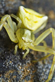 Yellow crab spider — Stock Photo