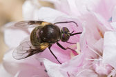 Bombylius bee mucha — Zdjęcie stockowe