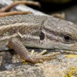 Large psammodromus (psammodromus algirus) lizard — Stock Photo