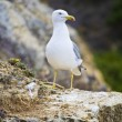 Seagull bird in the wild — Stock Photo