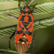 Firebug, Pyrrhocoris apterus — Stock Photo