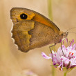 Stock Photo: Small Heath (Coenonymphpamphilus)