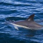 Wild dolphins — Stock Photo #25098651