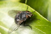 Common fly insect — Stock Photo
