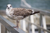 Seagull bird in the city docks — Stock Photo