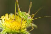 Great Green Bush-cricket (Tettigonia viridissima) — Stock Photo