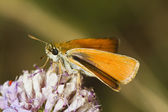 Lulworth Skipper (Thymelicus acteon) — Stock Photo
