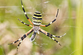 Orb-weaving Spider (Argiope bruennichi) — Stock Photo