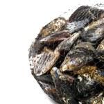 Blue mussel bivalve — Stock Photo #25132113