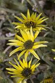 Yellow flowers, daisies isolated — Stock Photo