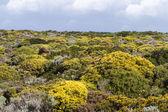 Beautiful flower field in Sagres — Stock Photo