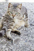 Domestic cat on a funny pose — Stok fotoğraf