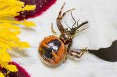 Crab spider — Stock Photo