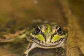 Edible Frog (Pelophylax esculentus) on a puddle — Stock Photo
