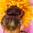 Stock Photo: Europehoney bee (Apis mellifera) collecting nectar