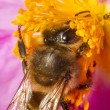European honey bee (Apis mellifera) collecting nectar — Stock Photo