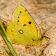 Clouded Yellow (Colias croceus) butterfly insect — Stock Photo