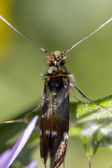 Adela collicolella nocturnal moth — Stock Photo