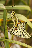 Swallowtail (Papilio machaon) butterfly — Stock Photo