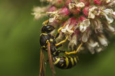 European wasp — Stock Photo
