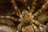 Zoropsis spinimana spider. — Stock Photo