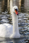 Beautiful white swan swimming on the lake — ストック写真