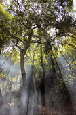 Sun rays crossing the trees in the forest. — Stock Photo
