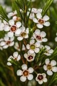 Beautiful bush of white spiraea flowers — Stock Photo