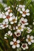 Beautiful bush of white spiraea flowers — Stock Photo